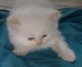 Bebe Persa Doll Face Himalayo Blanco Flame Point